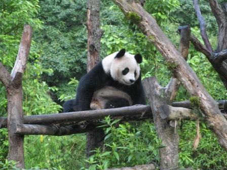 Sichuan Giant Panda Sanctuaries - Wolong, Mt Siguniang and Jiajin Mountains